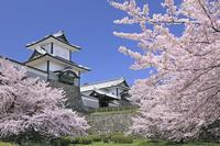 石川県 金沢城の石川門と桜