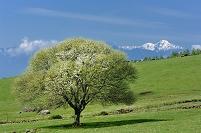 山梨県 八ヶ岳牧場 ヤマナシの木
