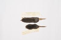 ヒミズとヒメヒミズの比較標本