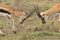 タンザニア トムソンガゼルの喧嘩