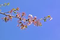 サクラ 枝先 花 咲き終わる