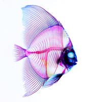 ナンヨウツバメウオ 透明骨格標本