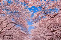 東京都 上野公園 満開の桜