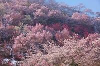 福島県・花見山 サクラ、モクレン、モモ