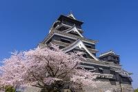 熊本県 熊本市 熊本城とサクラ