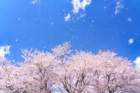 群馬県 桜吹雪