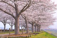 兵庫県 夜明けのおの桜づつみ回廊の桜並木