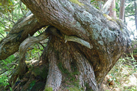 長野県 爺ケ岳南尾根の古木