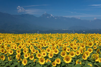 ヒマワリの花畑
