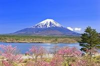 山梨県 富士山と精進湖のサクラ