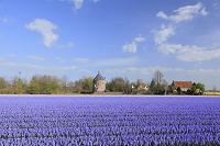 オランダ リッセ付近 ヒヤシンス畑