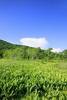 群馬県 ヤマドリゼンマイの群落と白樺林