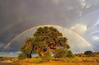 南アフリカ共和国 カラハリ 大きな木とダブルレインボー