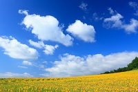 北海道 富良野 ひまわり畑
