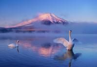 山梨県 山中湖村 赤富士と羽ばたく白鳥と山中湖