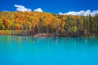 北海道 紅葉の青い池