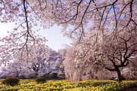 山梨県 実相寺の桜