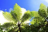 東京都 小笠原諸島 母島 固有種のマルハチの木と青空