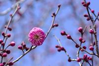 梅の花(大杯)