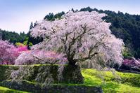 奈良県 宇陀市 又兵衛桜