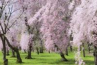 京都 二条城 紅枝垂桜