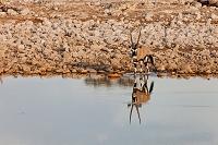 ナミビア ゲムズボック 朝 エトーシャ国立公園