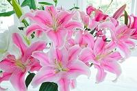 白とピンクのユリの花