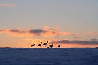 北海道 夕日の丘に群れるタンチョウ鶴