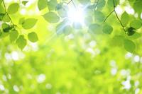 静岡県 ブナの若葉と木漏れ日