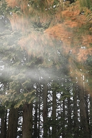 杉林と杉花粉