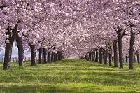 長野県 小布施町 千曲川桜堤の八重桜