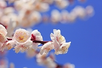 大阪城公園の梅の花