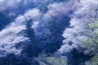 高峰山の山桜