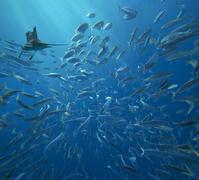 カジキと魚の群れ