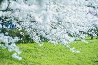 枝先にたわわに咲き誇る桜