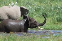 ケニヤ アンボセリ国立保護区 水浴び中の子ゾウ