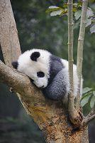四川省 ジャイアントパンダ