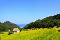 静岡県 秋の石部棚田と海