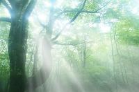 霧の中のブナの大木と森