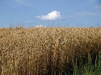 スイス チューリッヒ 小麦畑