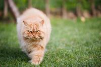 怒り顔のペルシャ猫