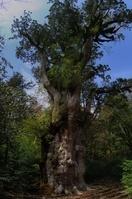 鹿児島県 屋久島の縄文杉