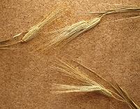 ビール大麦の穂