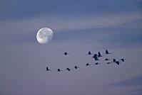 クロヅルの群れと月