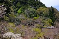 奈良県 談山神社 十三重塔とサクラ