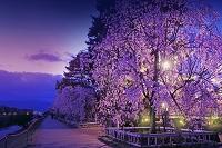 京都府 賀茂川 半木の道 夜桜