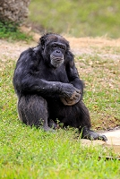 アフリカ チンパンジー