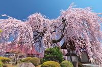 山梨県 周林寺の枝垂れ桜