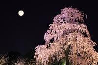京都府 東寺 ライトアップされた不二桜