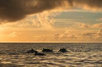 小笠原村 夕焼けをバックに泳ぐハシナガイルカの群れ